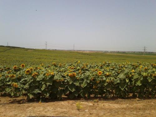גידולי שדה (גד``ש)